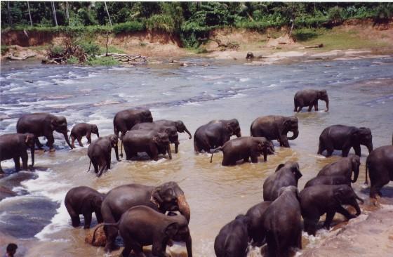 Bathing Elephants at Pinnawala elephants orphanage